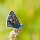 Common Blue Butterfly by M.S. Photography/Art