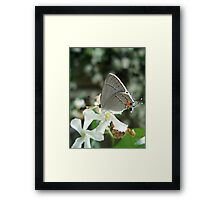 Gray Hairstreak on Jasmine Framed Print