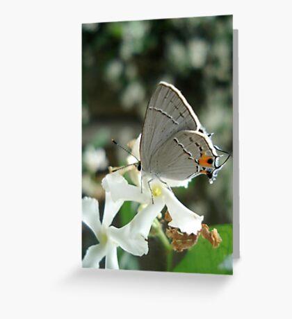 Gray Hairstreak on Jasmine Greeting Card