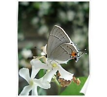 Gray Hairstreak on Jasmine Poster
