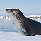 Weddell Seal, Antarctica by Neville Jones