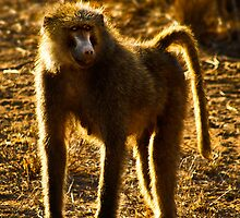 Olive Baboon by Damienne Bingham