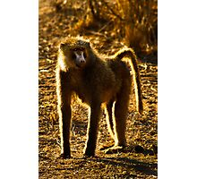 Olive Baboon Photographic Print