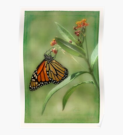 Monarch Butterfly on Butterfly Weed Poster