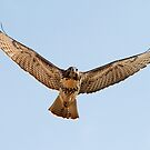 062611 Red Tailed Hawk by Marvin Collins