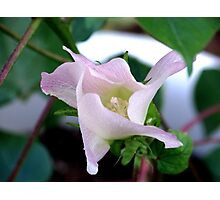 Cotton Plant ~In Bloom~ Photographic Print
