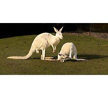 White Kangaroos Photographic Print