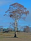 An Eucalypt at Bothwell by Graeme  Hyde