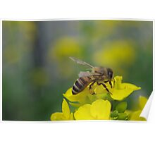 Bee on the yellow Flower Poster