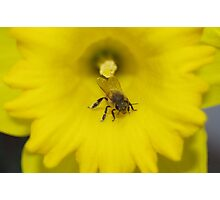 Bee on a daffodil flower Photographic Print