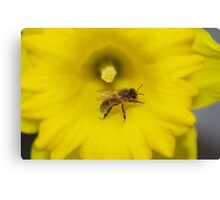 Bee on a daffodil flower Canvas Print