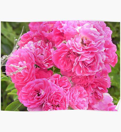 Pink Flowers - Martha's Vineyard Poster