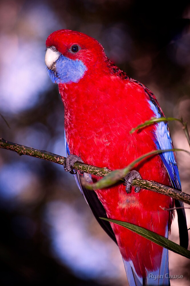 Crimson Rosella by Ryan Cawse
