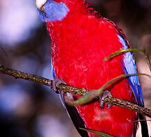 Crimson Rosella by Ryan Cawse