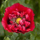poppy  by David Ford Honeybeez photo