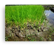 Rice seedlings one week after sowing Canvas Print