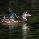 Non-Breeding Male Wood duck by Rob Lavoie