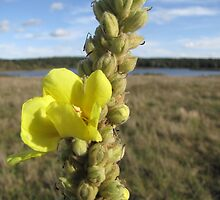 Verbascum densiflorum by orko