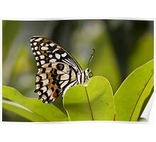 Giant Wood Nymph Butterfly Poster