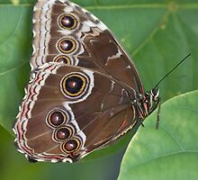 Giant Owl Butterfly by theriverrat