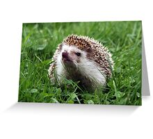 African pigmy hedgehog outdoors Greeting Card