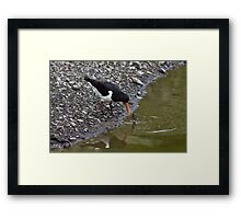 Oystercatcher eating fresh water muscle Framed Print