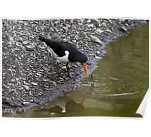 Oystercatcher eating fresh water muscle Poster