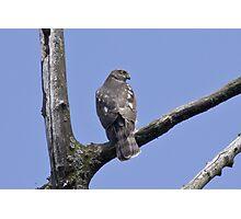 Sparrow Hawk Photographic Print