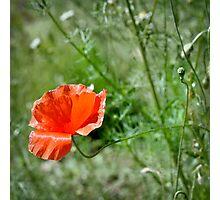 Poppy   1 Photographic Print