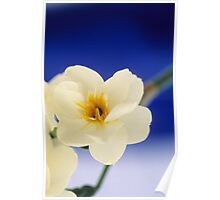 Narcissus Blue Poster