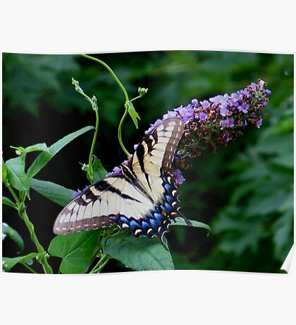 Eastern Tiger Swallowtail (Papilio glaucus) Poster