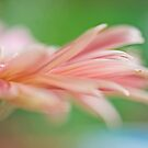 Pink petals by IngeHG