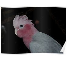 My Bailey ..... Pink and Grey Galah ....Western Australia Poster