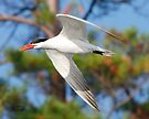 Caspian Tern by Todd Weeks