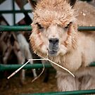 Llama with Attitude by Yvonne Roberts