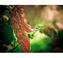Shrimp Plant Photographic Print