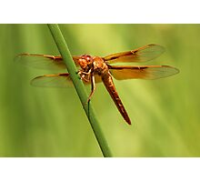 Fiery Red Dart Photographic Print