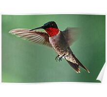 A Close Up of A Male Ruby Throated Hummingbird Poster