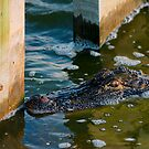 alligator encounter by Manon Boily