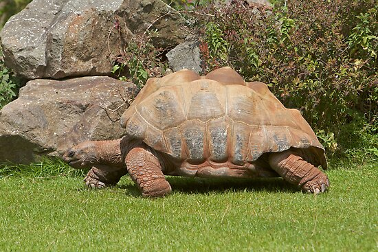 A giant tortoise in Paignton Zoo, Devon. by Keith Larby