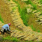 Rice Terrace5. by bulljup