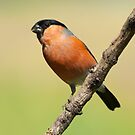Bullfinch (male) by M.S. Photography/Art