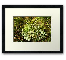 Little cups of Cup Lichen  Framed Print