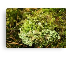 Little cups of Cup Lichen  Canvas Print