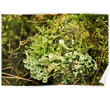 Little cups of Cup Lichen  Poster