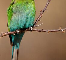 Swallowtailed Bee-eater (Merops hirundineus) by Adéle Van Schalkwyk