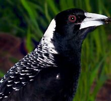 AUSTRALIAN MAGPIE - A Very Trusting Young, Wild  Magpie...So close, so sweet, I was honored, Not Attacked ;-) by Toni Kane