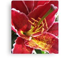 Deep Pink Asiatic Lily  Canvas Print