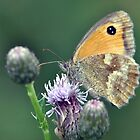 Gatekeeper Feeding on a Thistle by Chris Monks