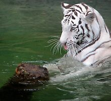 The Playful White Tiger by Shaun  Gabrielli